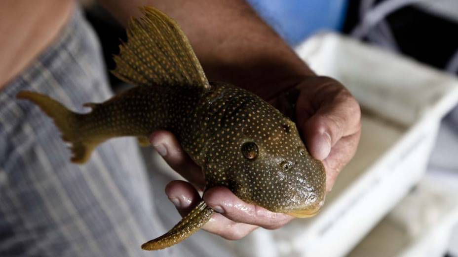 O leito pedregoso do rio Xingu é habitat natural de peixes ornamentais, como os Acaris. O comércio - legal e ilegal-  movimenta muito dinhero na região