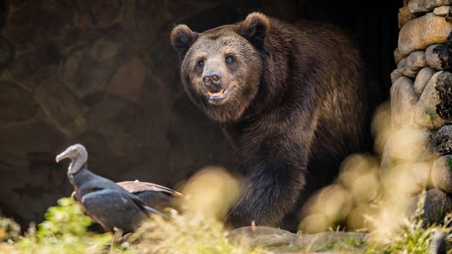 Urso-de-óculos olha para Urubus que pousaram sobre o seu recinto