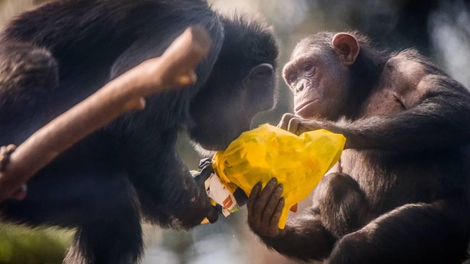 Chimpanzés interagem com objetos do Peca