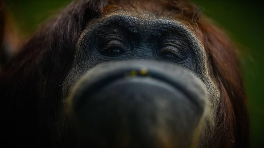 Orangotango faz careta para câmera