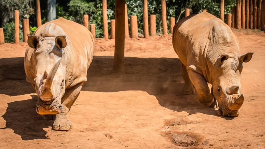 Casal de rinocerontes, Adão e Eva, se alimentam no zoo de São Paulo