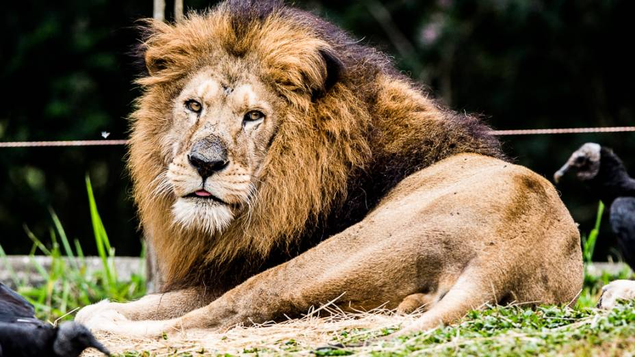 O leão Kirongozi, de 14 anos, descansa em sua jaula