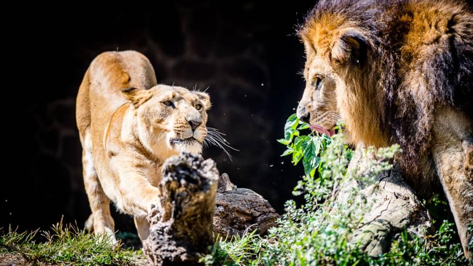 Casal de leões em seu recinto