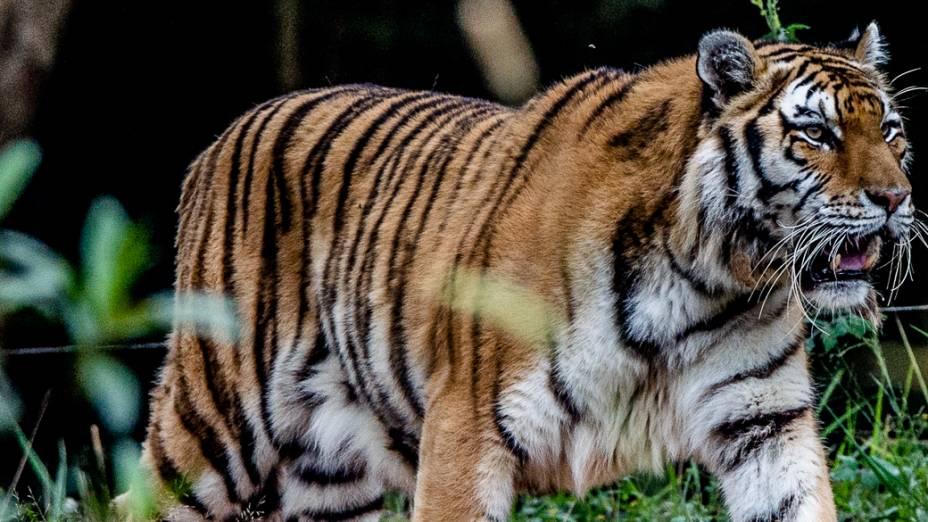 O tigre siberiano fêmea, batizado de Tigresa, nasceu na fundação