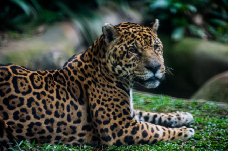 Onça-pintada descansa em sua jaula no zoo de São Paulo