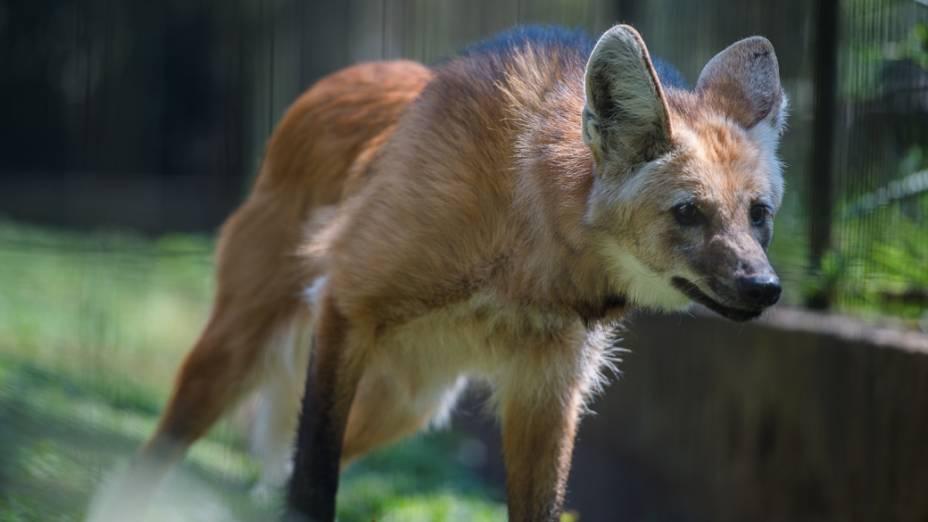Lobo-guará caminha em seu recinto no zoo de São Paulo