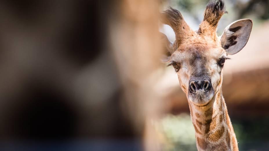 Com dois meses de vida, Girafales é o mais novo entre os mamíferos