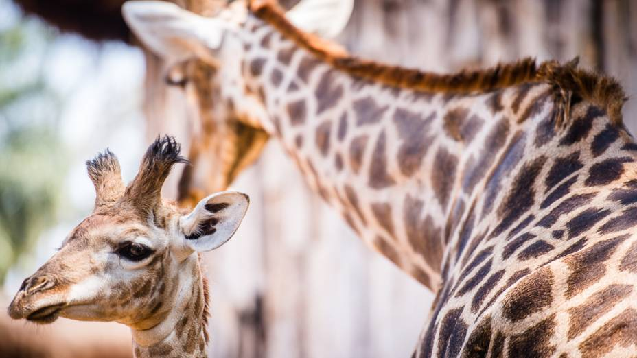O recém-nascido Girafales ao lado de sua mãe