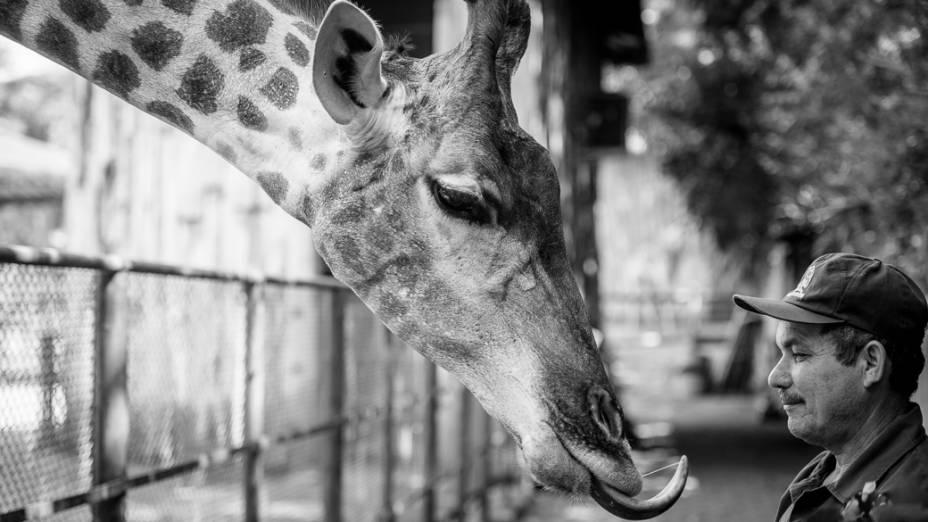 O tratador Laurindo de Almeida no recinto das girafas no Zoo de São Paulo