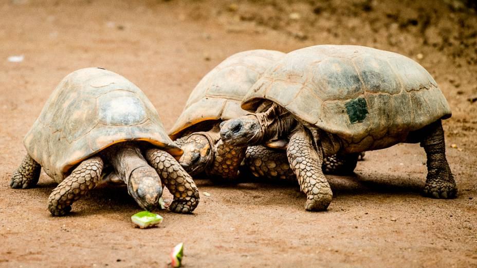 Tartarugas recebem pequenos pedaços de melancia como parte do Peca