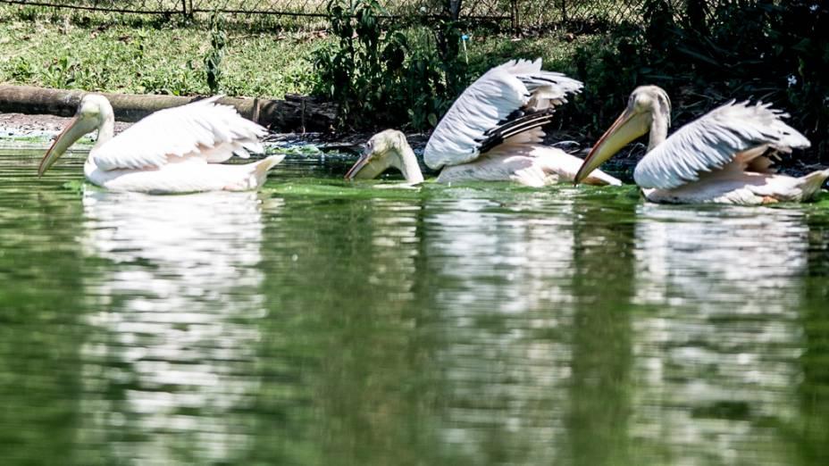 Pelicanos nadam no lago do zoo