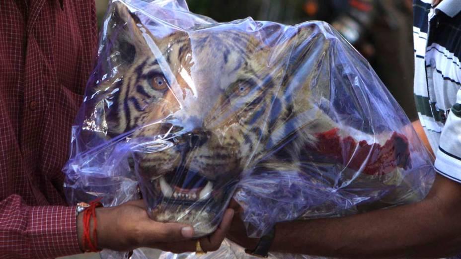 Cabeça de tigre da espécie Bengala é apreendida por oficiais indianos em hotel na cidade de Nagpur após a polícia prender dois traficantes de animais