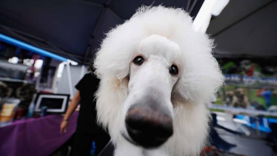 """Cachorro poodle participa da feira """"Pet-A-Palooza Expo"""" em Irvine, na Califórnia"""