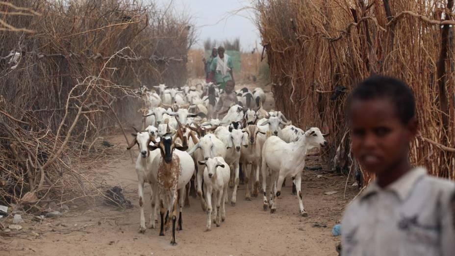 Rebanho de cabras em Dagahaley, no campo de refugiados de Dadaab, Quênia