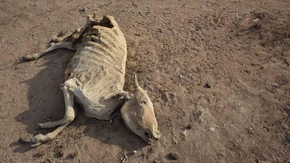 Vaca morta no campo de refugiados de Dadaab, Quênia