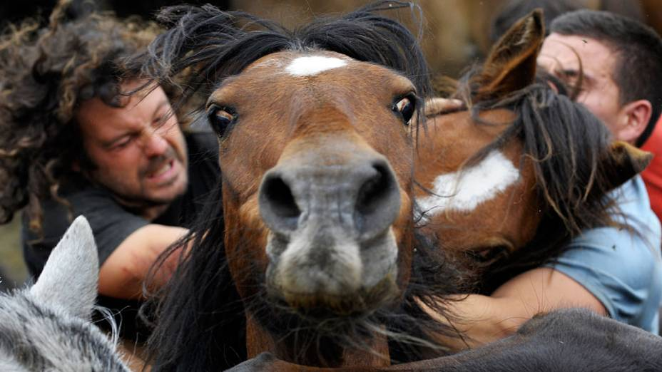 """Luta de cavalos selvagens durante o festival de 400 anos de idade chamado """"Rapa das bestas"""" em Sabucedo, próximo a Santiago de Compostela, Espanha"""