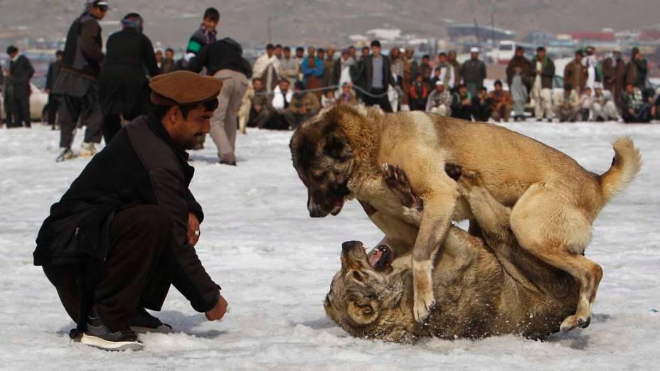 Competição de briga de cachorros, conhecidos como Kuchis, em Cabul, Afeganistão