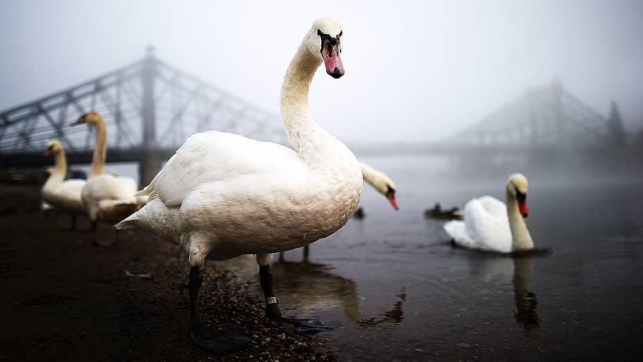 Cisnes nadam no rio Elba, em Dresden, na Alemanha. Após a primeira nevasca da temporada