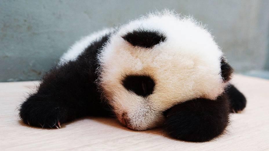 Filhote de panda gigante nascido em 7 de julho dorme no zoológico de Taipé (Taiwan)