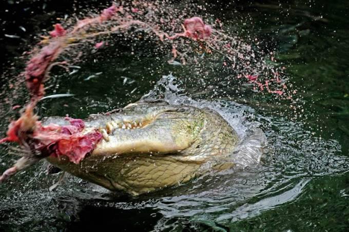 crocodilo-600-original.jpeg