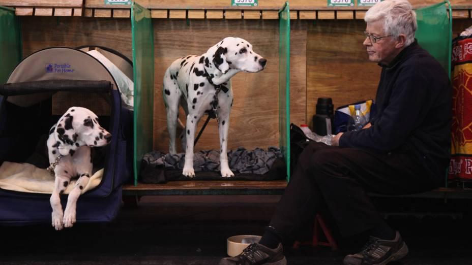 """Dálmatas sentados no canil durante a """"Crufts dog show""""em Birmingham"""