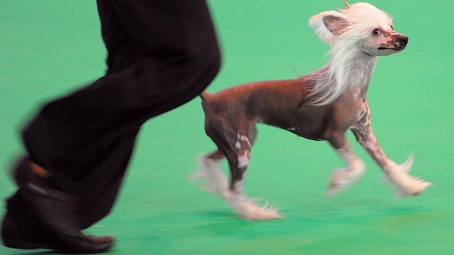 """Cão Cristado Chinês se apresenta durante a """"Crufts dog show""""em Birmingham"""