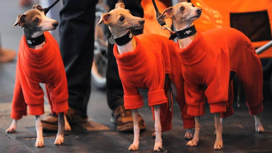 """Galgos Italianos chegam para a """"Crufts dog show""""em Birmingham"""