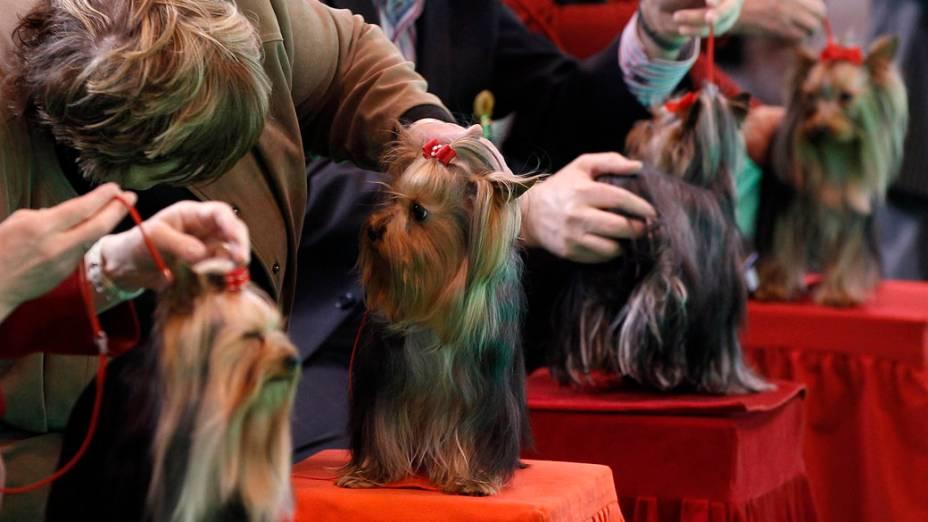 """Yorkshires são julgados durante a """"Crufts dog show"""" em Birmingham"""