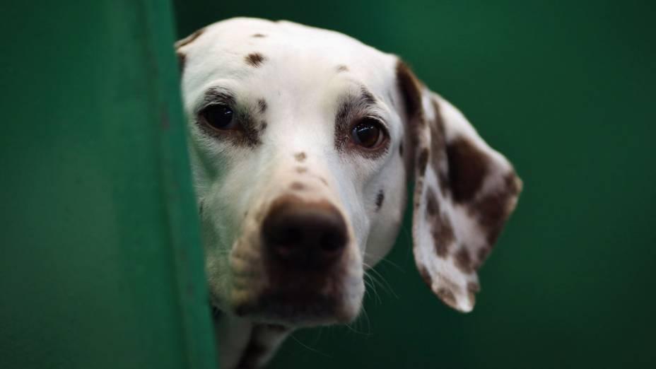 """Dálmata observa o movimento durante a """"Crufts dog show"""" em Birmingham"""