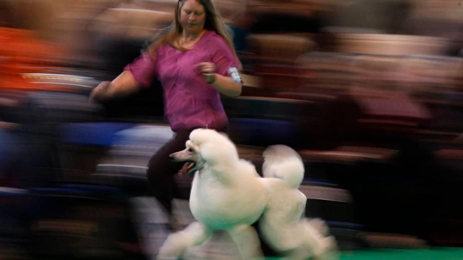"""Poodle desfila para os julgadores no primeiro dia da """"Cruft dog show"""" em Birmingham, Inglaterra"""