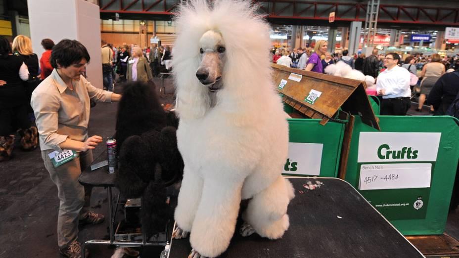 """Poodle fotografado durante a """"Crufts dog show"""" em Birmingham"""