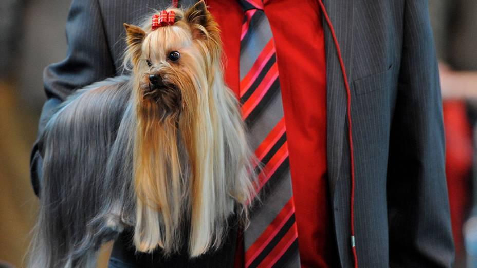 """Yorkshire fotografado durante a """"Crufts dog show"""" em Birmingham"""