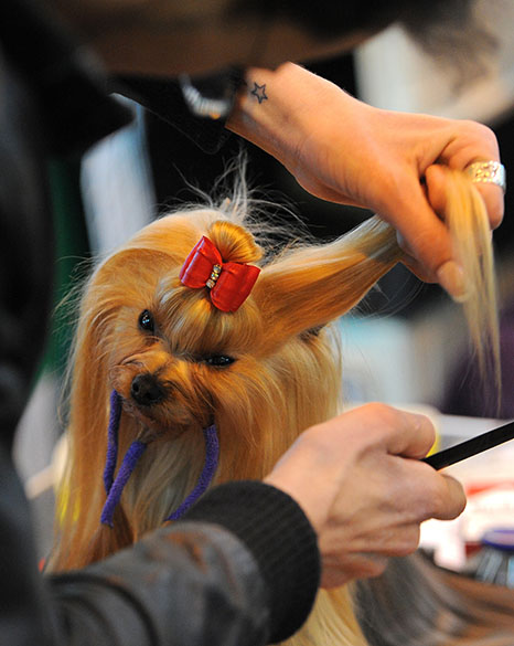 """Yorkshire é praparado para participar das competições da """"Cruft dog show"""" em Birmingham"""
