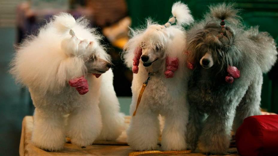 """Poodles aguardam julgamento durante a """"Cruft dog show"""", em Birmingham"""