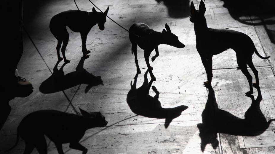 """Silhuetas de Toy Terrier Ingleses durante a """"Cruft dog show"""" em Birmingham"""