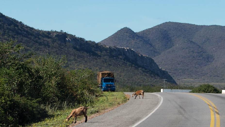 Bodes às margens da rodovia em Pindobaçu (BA)