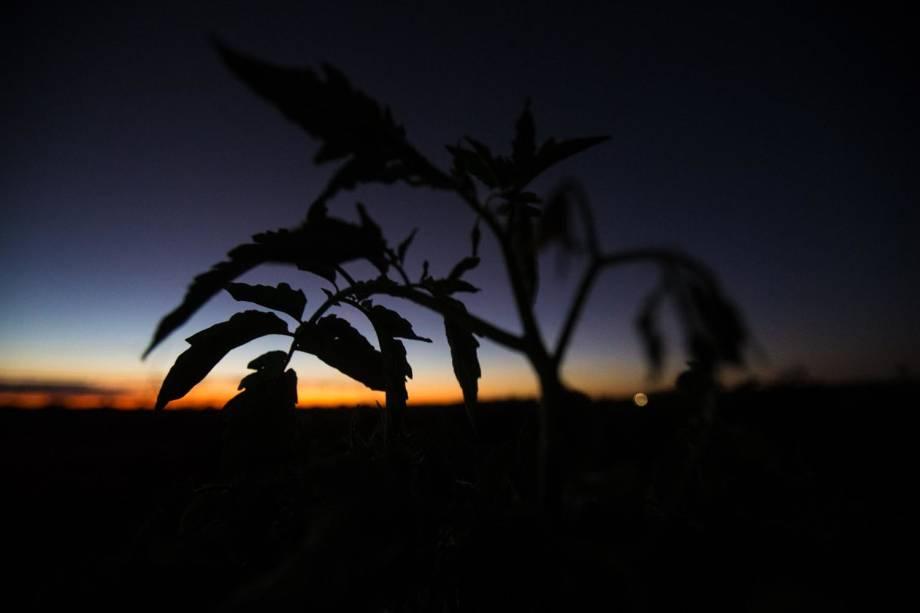 Plantação de tomates em fazenda irrigada de Irecê (BA)