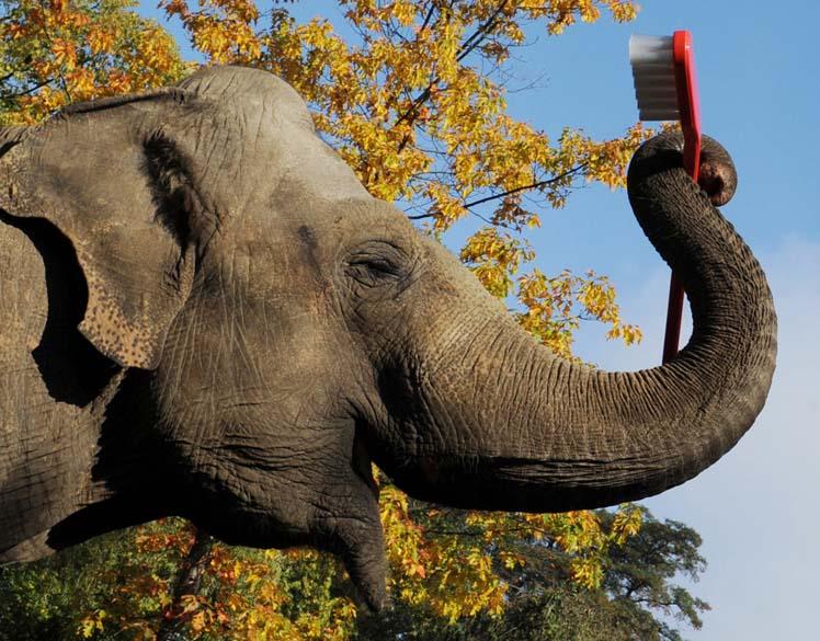 O elefante Mogli segura uma escova de dentes gigante em zoológico de Hamburgo, na Alemanha