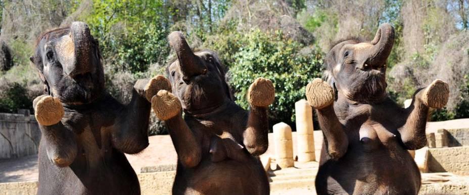 Elefantes se apresentam para os visitantes do zoológico de Hanover, Alemanha