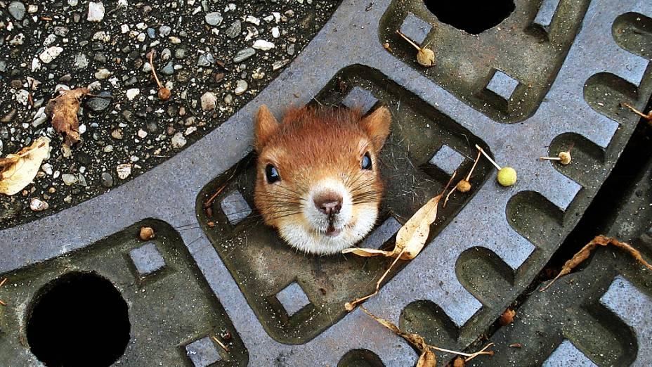 Fotografia divulgada nesta segunda-feira pela polícia de Isenhagen, na Alemanha, mostra um esquilo que foi encontrado preso em um bueiro, no domingo (5); animal foi resgatado e passa bem