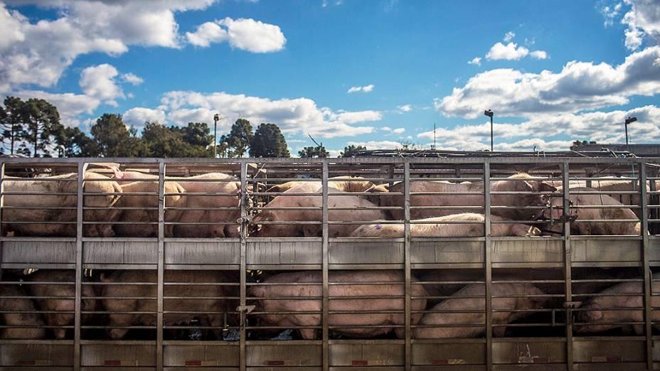 Caminhão de porcos próximo a cidade de Papanduva/SC