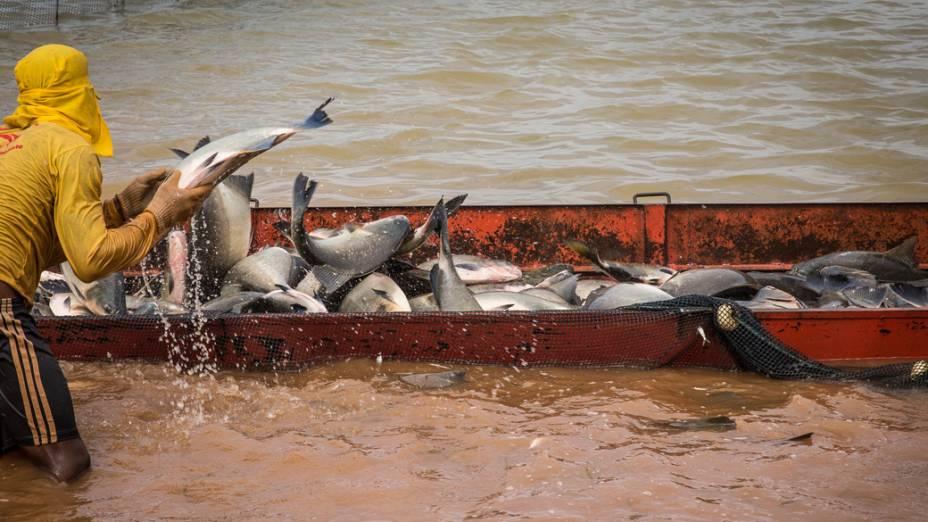 Produção de peixes na empresa Delicious Fish em Sorriso (MT)