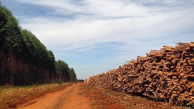 Expedição VEJA - A floresta de um lado e a madeira pós colheita do outro. O cenário faz parte da produção de celulose na cidade de Três Lagoas, no Mato Grosso do Sul