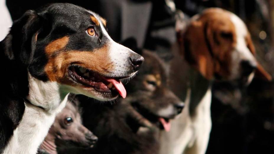 """Quatro das seis raças que participam pela primeira vez do 136º Show de Cães do Clube """"Westminster Kennel"""" em Nova York"""