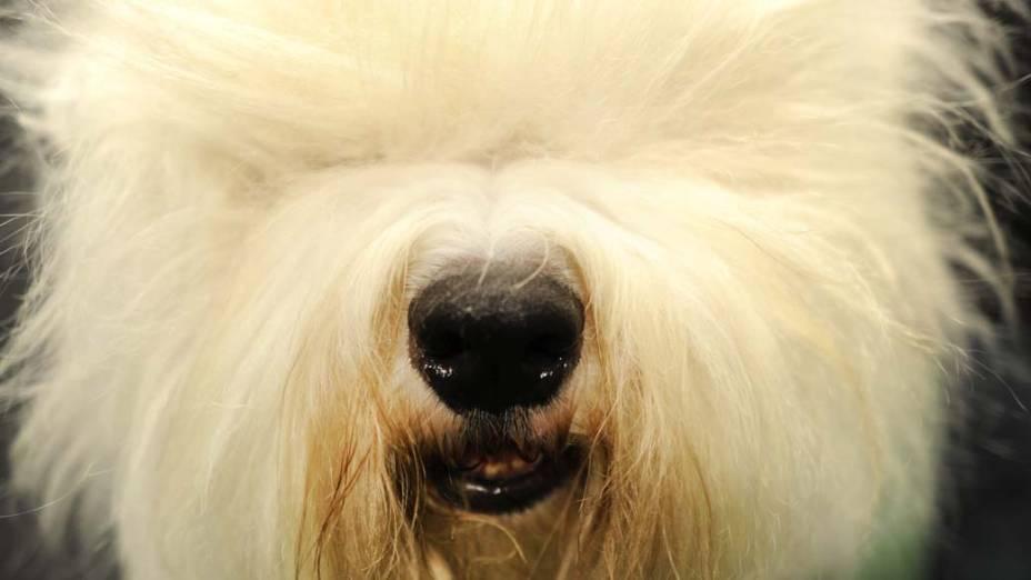 """Cão da raça Sheepdog Inglês durante o 136º Show de Cães do Clube """"Westminster Kennel"""" em Nova York"""