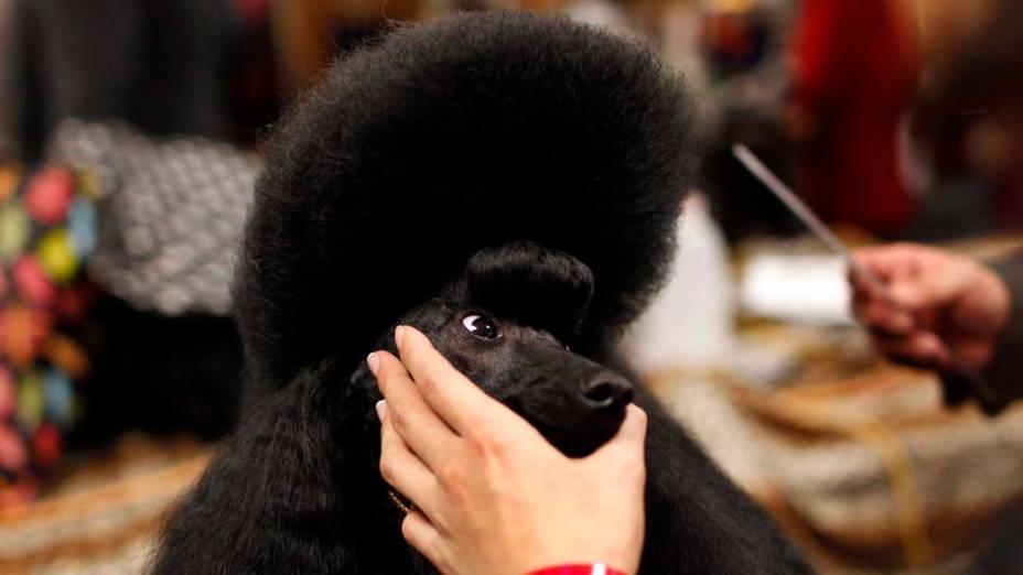"""Poodle Miniatura durante preparação para o 136º Show de Cães do Clube """"Westminster Kennel"""" em Nova York"""