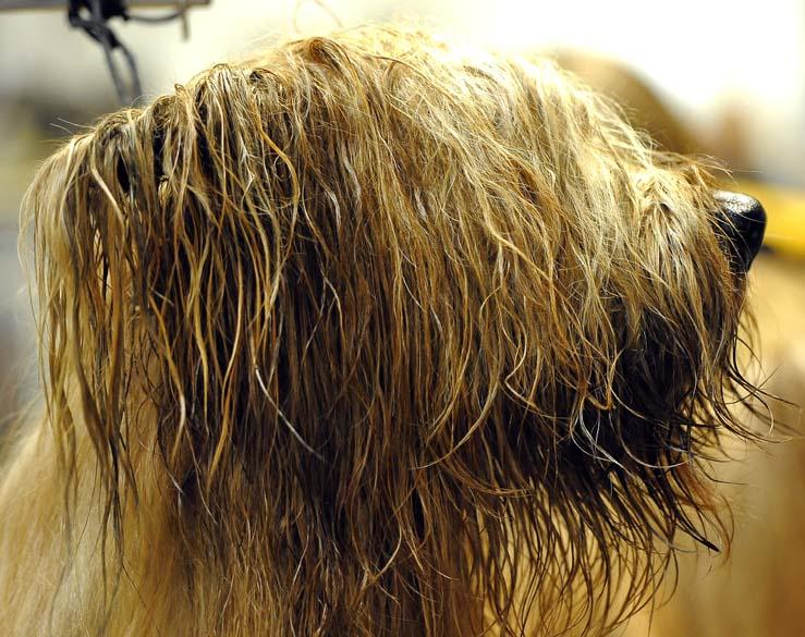 """Cão da raça Briard durante preparação para o 136º Show de Cães do Clube """"Westminster Kennel"""" em Nova York"""
