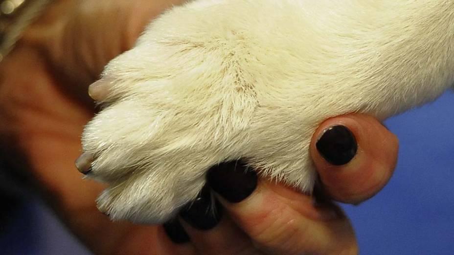 """Cão da raça """"welsh corgi cardigan"""" durante o 136º Show de Cães do Clube """"Westminster Kennel"""" em Nova York"""