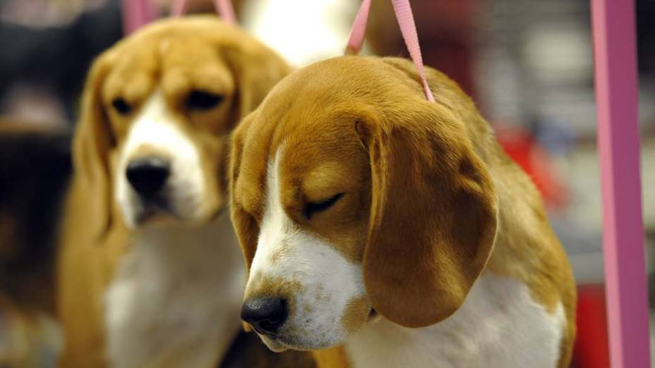 """Cão da raça Bishon Frisé durante preparação para o 136º Show de Cães do Clube """"Westminster Kennel"""" em Nova York"""