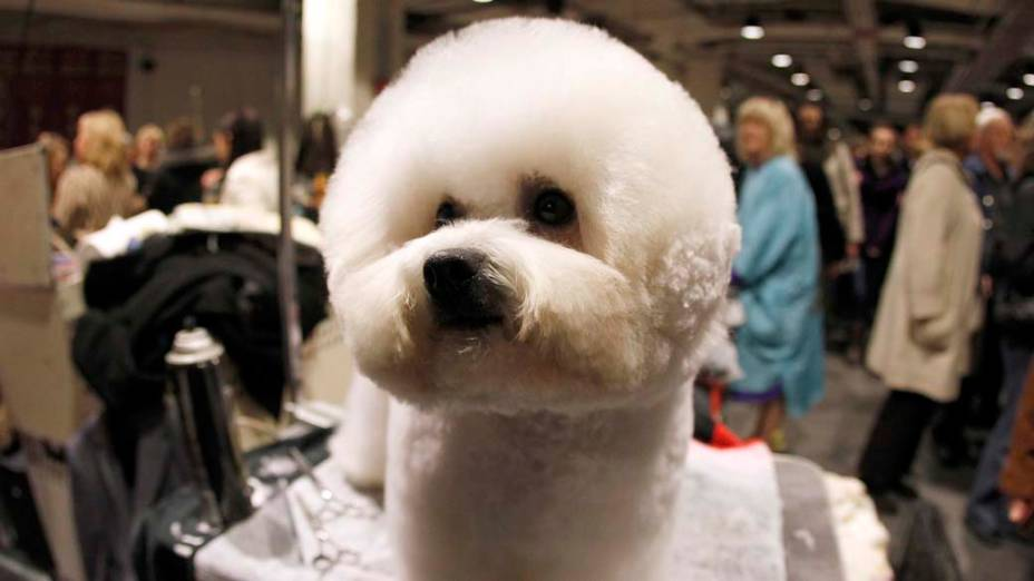 """Bichon Frisé durante preparação para o 136º Show de Cães do Clube """"Westminster Kennel"""" em Nova York"""